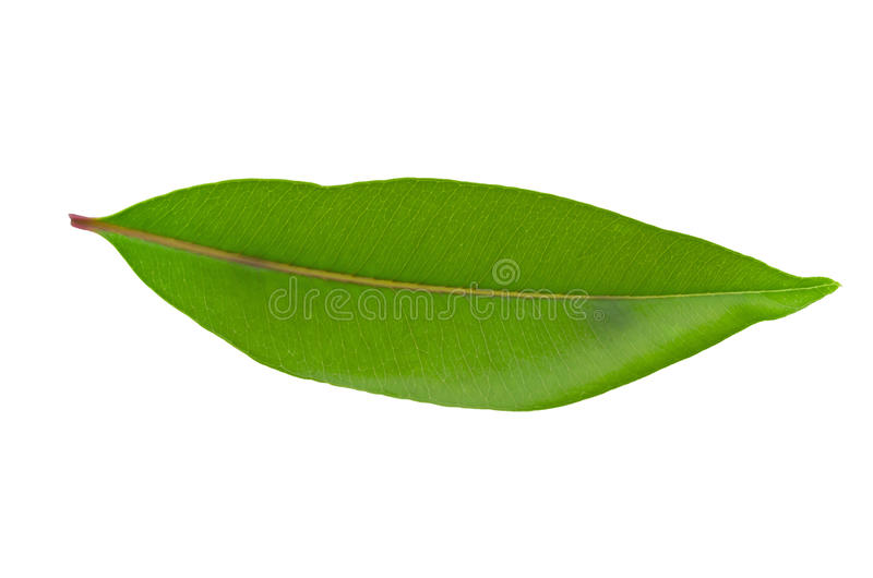 Folha verde isolada no fundo branco fotografia de stock royalty free