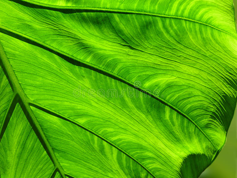 Folha verde larga fotos de stock