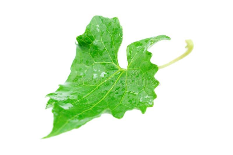 folha verde molhada isolada no branco imagens de stock