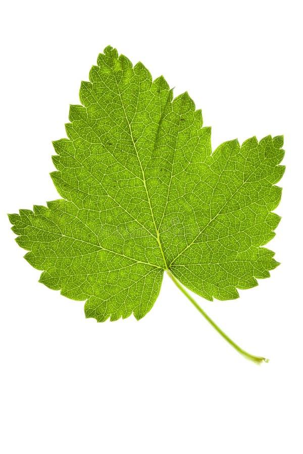 Folha verde no branco fotos de stock
