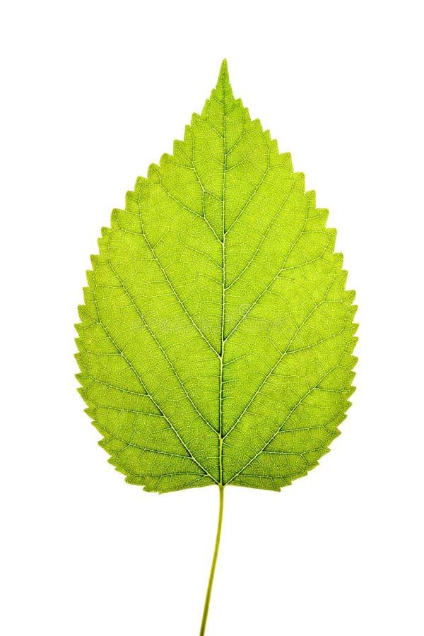 Folha verde no fundo branco fotografia de stock