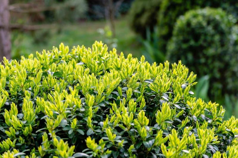 Folha verde nova brilhante de sempervirens do Buxus do buxo com escuro - contexto verde do jardim Buxo aparado imagem de stock royalty free