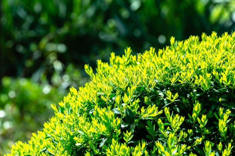Folha verde nova brilhante de sempervirens do Buxus do buxo com escuro - contexto verde do jardim Buxo aparado fotografia de stock royalty free