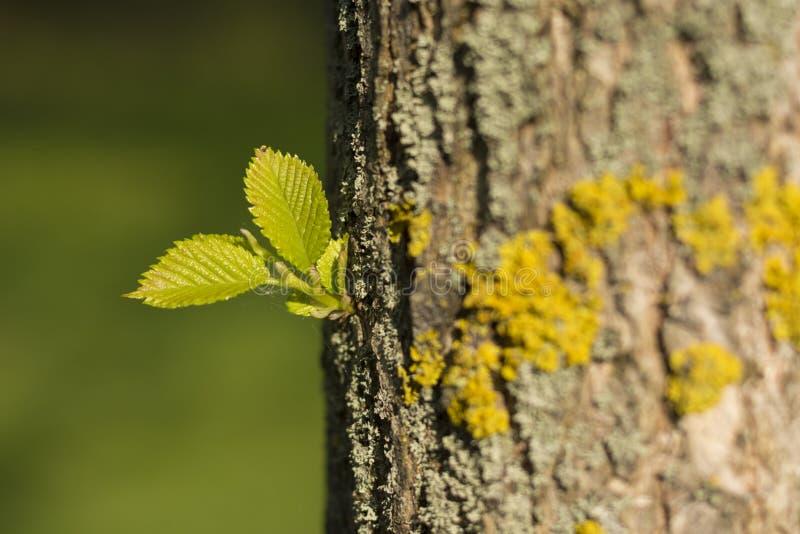 Folha verde nova da mola em um tronco de árvore fotografia de stock royalty free