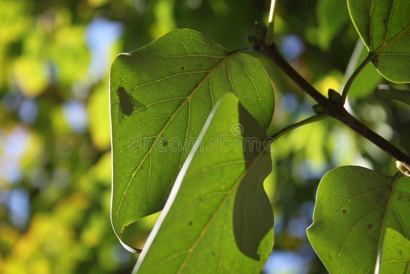 Folha verde real surpreendente fresca brilhante bonita que cresce em uma árvore fotografia de stock royalty free