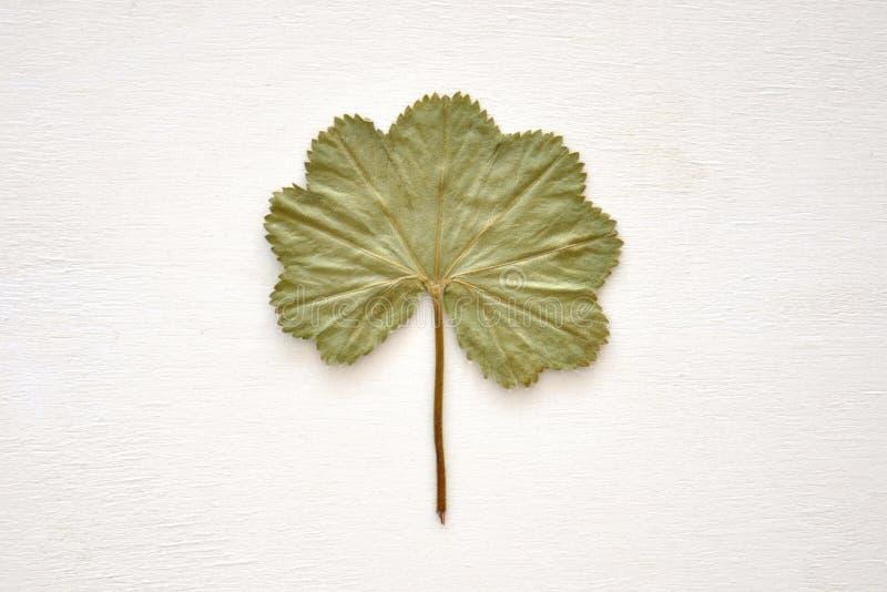 Folha verde secada fotografia de stock royalty free