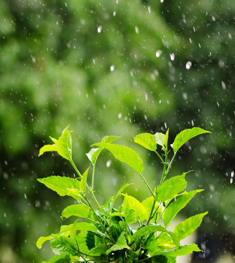 A folha verde sob uma chuva deixa cair imagem de stock