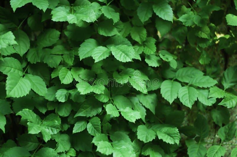 Folha verde, vara da parede, parede colorida fotos de stock royalty free