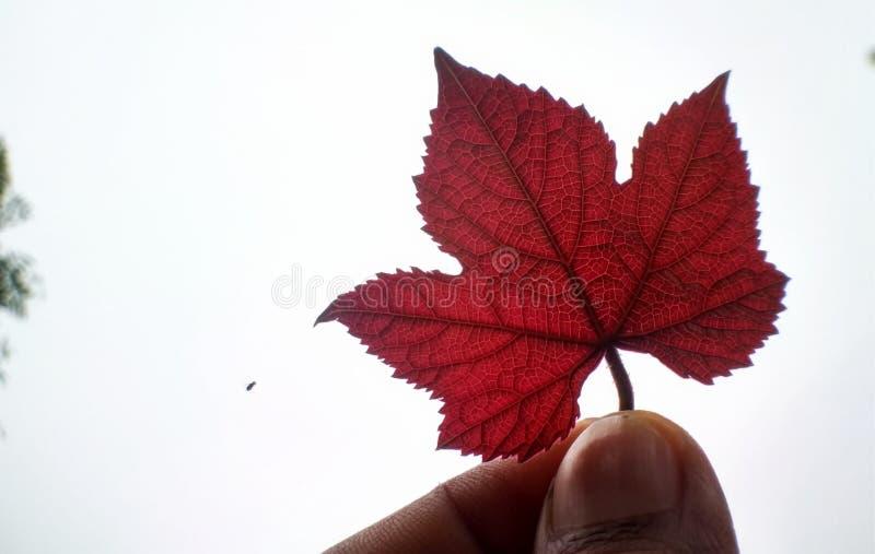 Folha vermelha bonita fotografia de stock