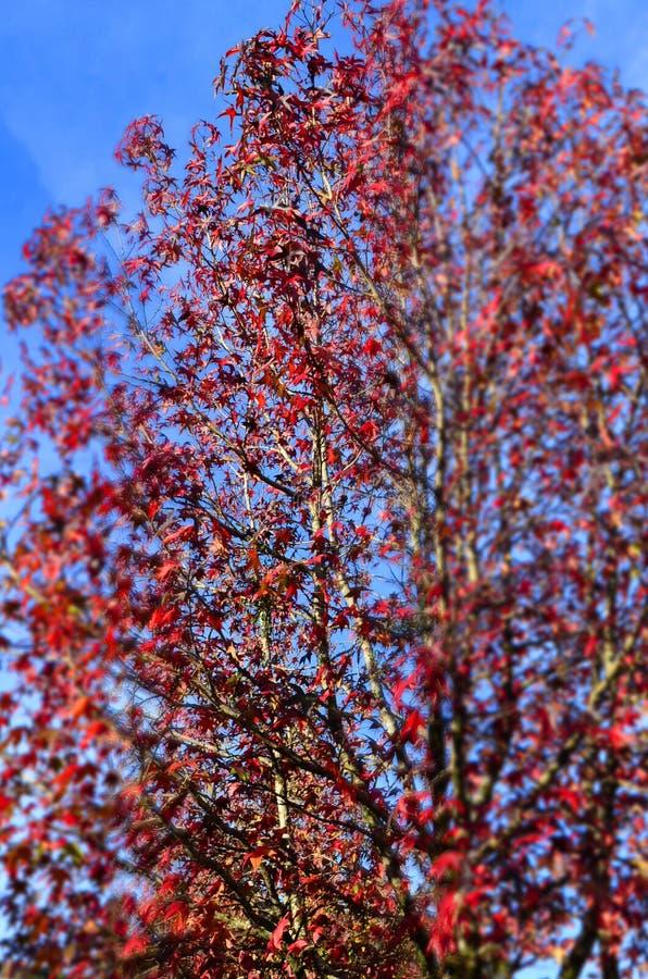 folha vermelha contra o céu azul, Gramado, Brasil fotos de stock