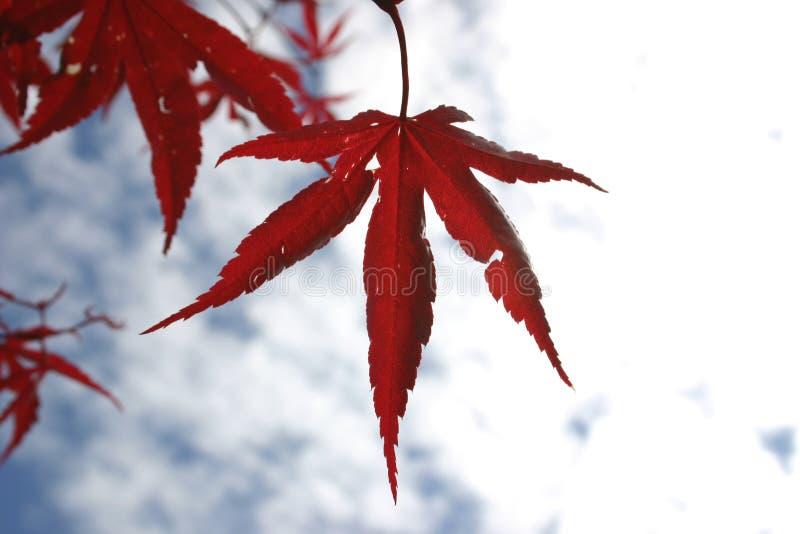 Folha vermelha da estrela foto de stock
