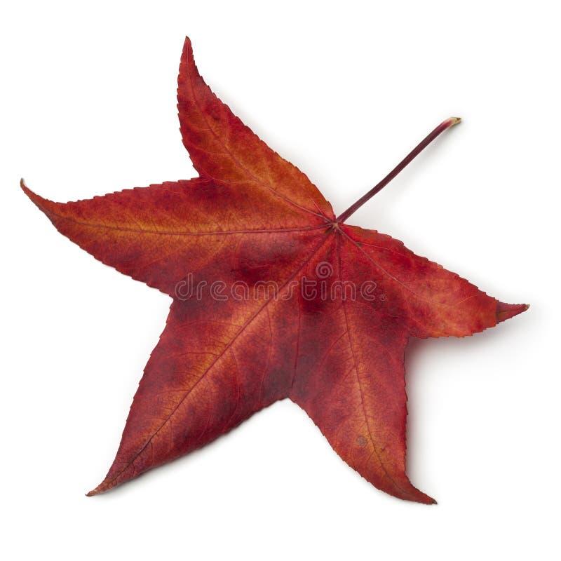 Folha vermelha do outono de uma árvore americana do sweetgum foto de stock