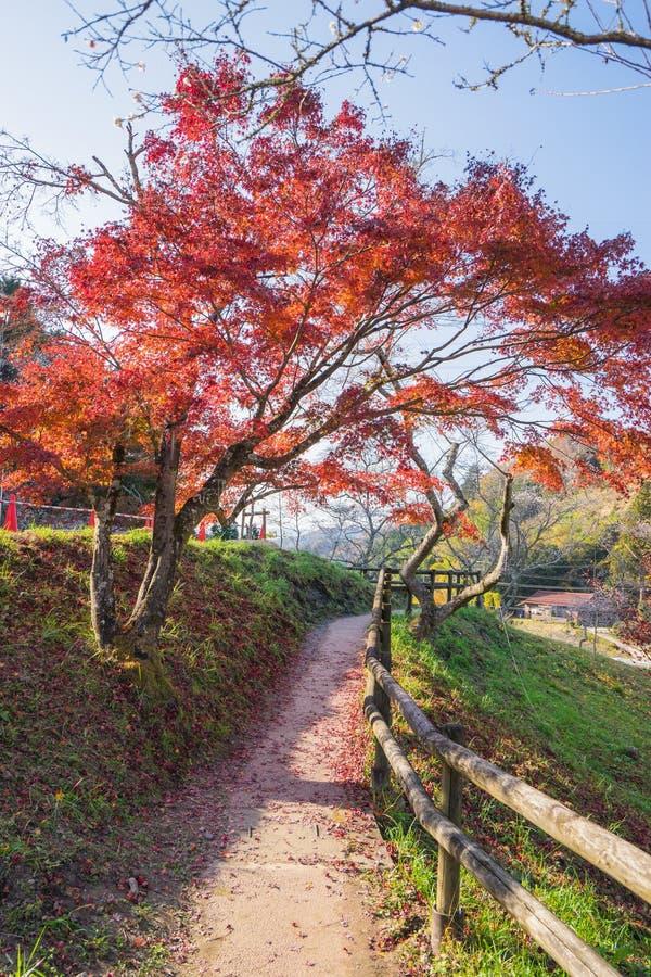 A folha vermelha do outono iluminou-se acima pela luz do sol em Obara, Nagoya, Japão imagens de stock royalty free