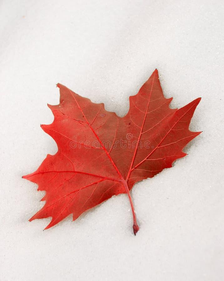 Folha vermelha na neve fotografia de stock