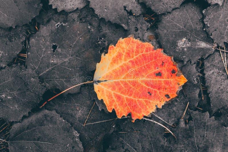 Folha vermelha nas folhas podres, outono fotos de stock royalty free