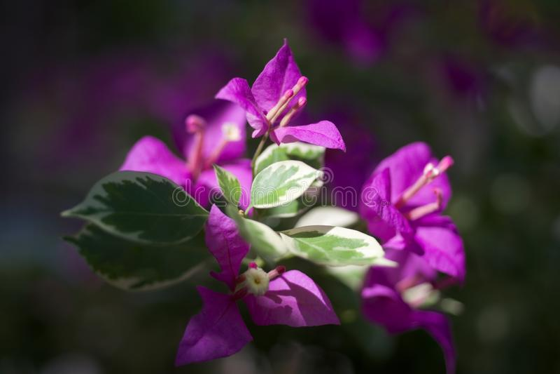 Folha violeta fotos de stock royalty free