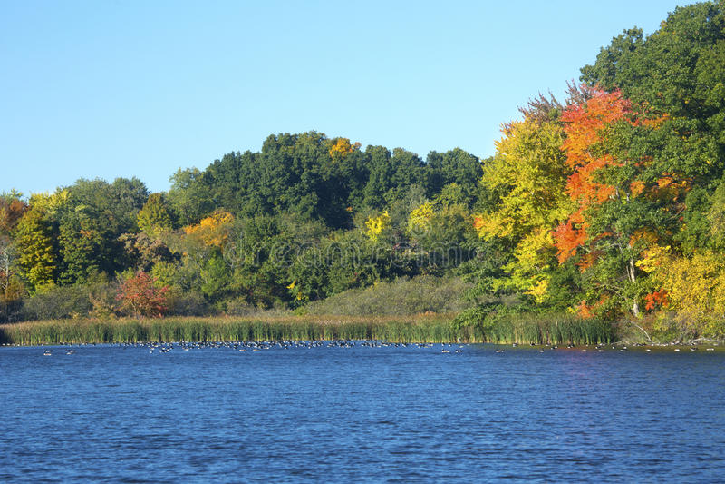 A folhagem de outono e os gansos no moinho Pond, Connecticut fotos de stock