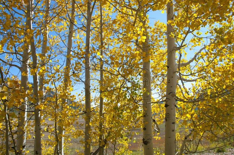 Folhagem de outono em Aspen Trees amarelo que mostra fora seu Autumn Colors imagens de stock royalty free