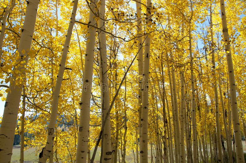 Folhagem de outono em Aspen Trees amarelo que mostra fora seu Autumn Colors fotos de stock