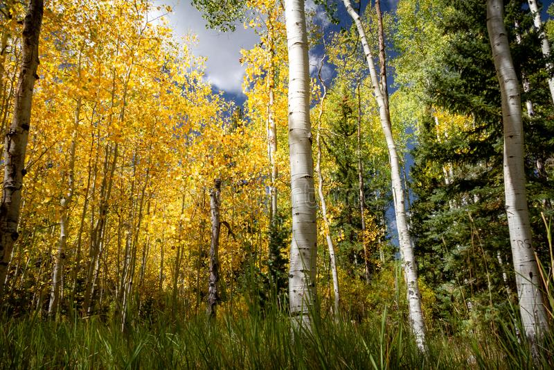 A folhagem de outono fantástica com cores lindos e uma variedade de árvores datilografa o vidoeiro, álamo tremedor, pinho fotos de stock royalty free