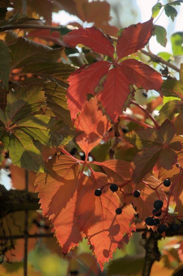 Folhagem do outono Vermelho de Virginia Creeper em Zuerich foto de stock