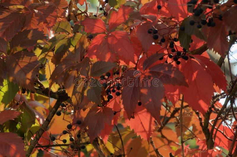 Folhagem do outono Vermelho de Virginia Creeper em Zuerich imagens de stock