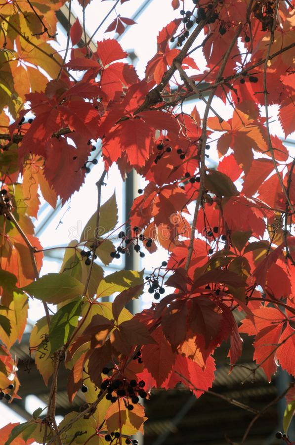Folhagem do outono Vermelho de Virginia Creeper em Zuerich imagem de stock