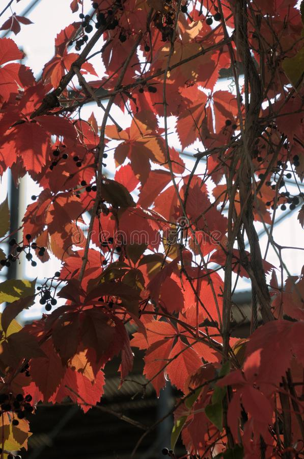 Folhagem do outono Vermelho de Virginia Creeper em Zuerich fotos de stock