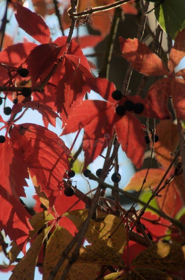 Folhagem do outono Vermelho de Virginia Creeper em Zuerich fotografia de stock royalty free