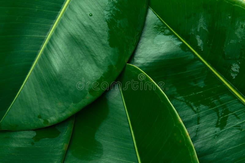 Folhagem natureza verde de folhas de ficus verdes Modelo para cosméticos orgânicos spa bem-estar dos corpos foto de stock royalty free