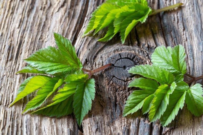 Folhas à terra novas da pessoa idosa em uma tabela imagem de stock