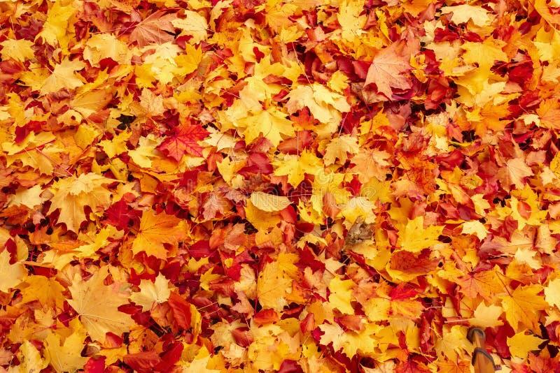 Folhas alaranjadas e vermelhas da queda de outono na terra fotos de stock