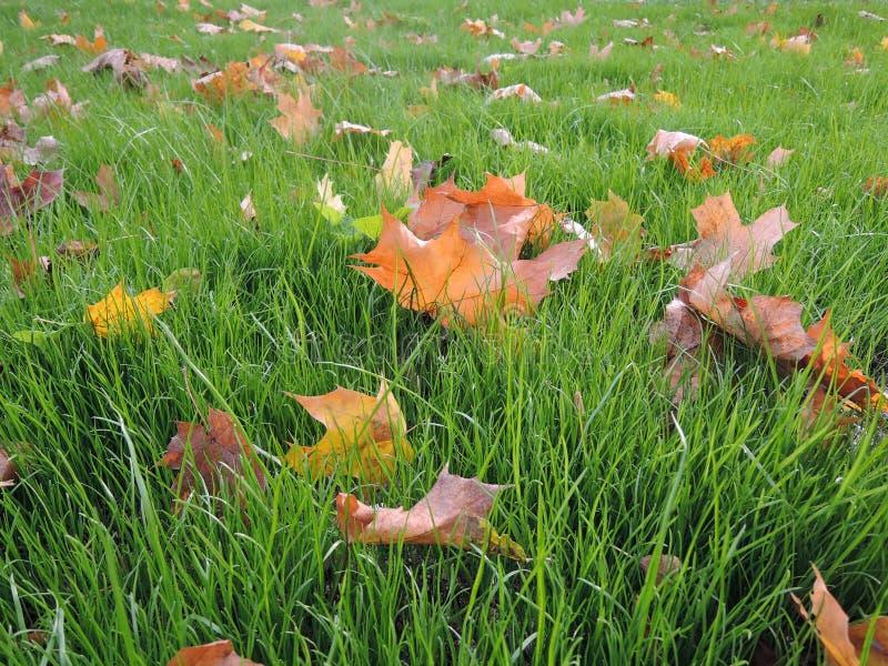 Folhas amarelas bonitas no close-up da grama verde no parque no outono adiantado fotos de stock