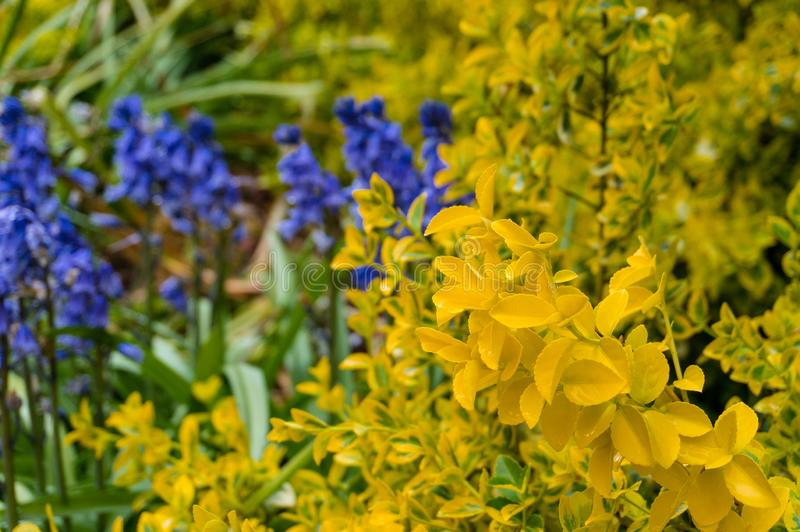 Folhas amarelas brilhantes do fundo decorativo do jardim do arbusto da conversão foto de stock royalty free