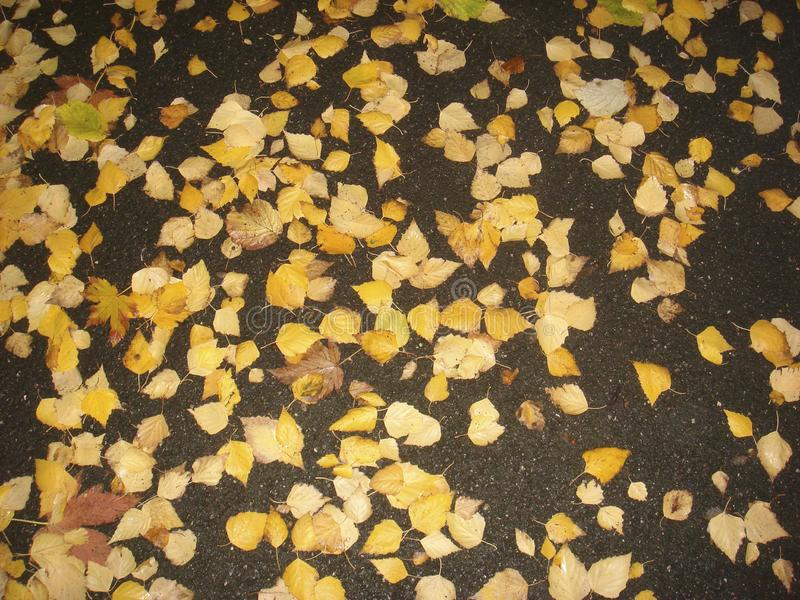 Folhas amarelas da árvore de Betula Pendula no outono foto de stock royalty free