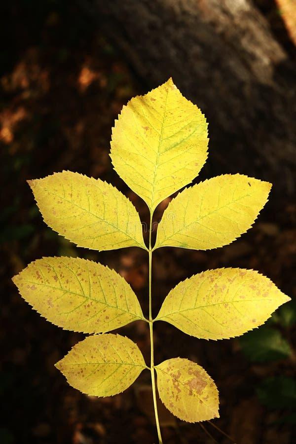 Folhas amarelas do autmn imagens de stock royalty free