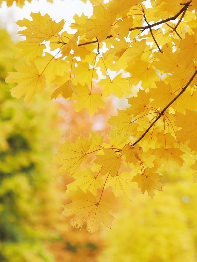 Folhas amarelas do mapple na árvore fotos de stock royalty free