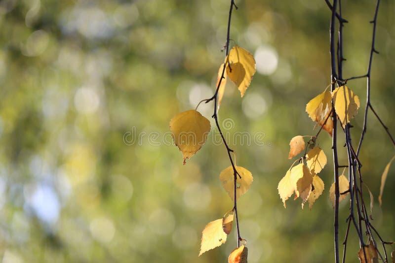 Folhas amarelas do outono bonito no vidoeiro imagem de stock