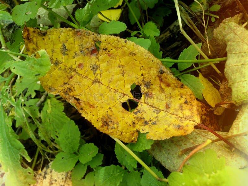 Folhas amarelas do salgueiro na floresta outonal de Sibéria fotos de stock