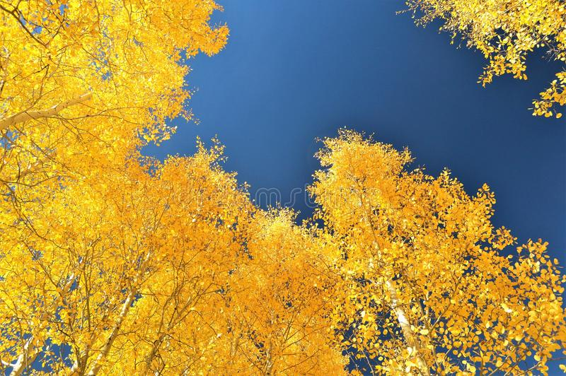 Folhas amarelas douradas da queda da árvore de Aspen fotografia de stock