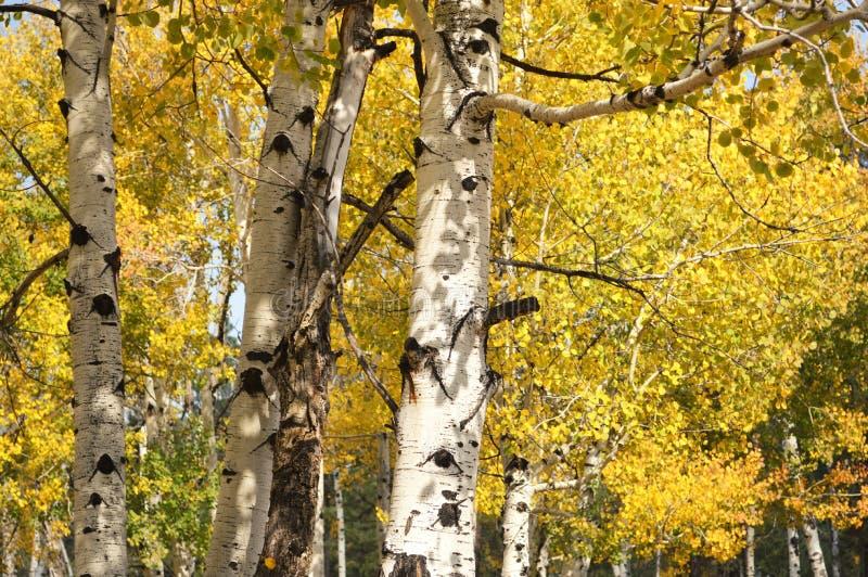 Folhas amarelas douradas da queda da árvore de Aspen fotos de stock