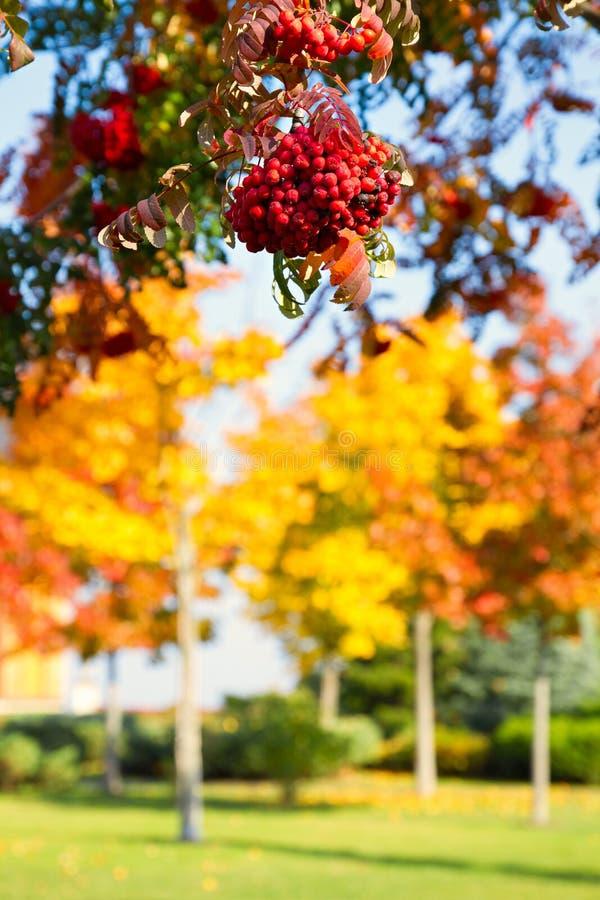 Folhas amarelas douradas do fundo brilhante bonito da natureza do outono e bagas alaranjadas vermelhas do outono fotos de stock