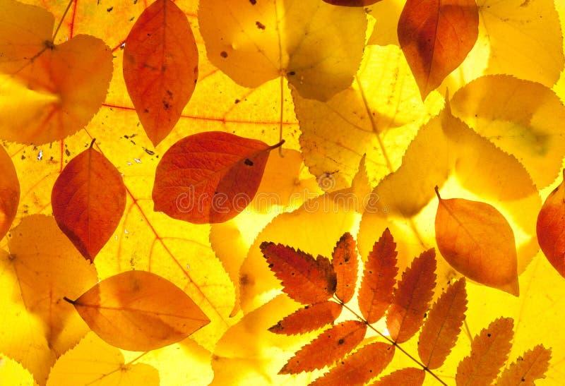 Folhas amarelas e do vermelho foto de stock