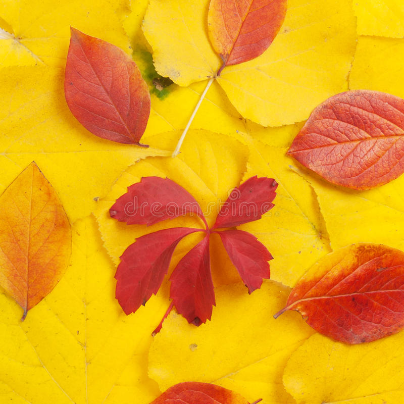 Folhas amarelas e do vermelho fotos de stock royalty free