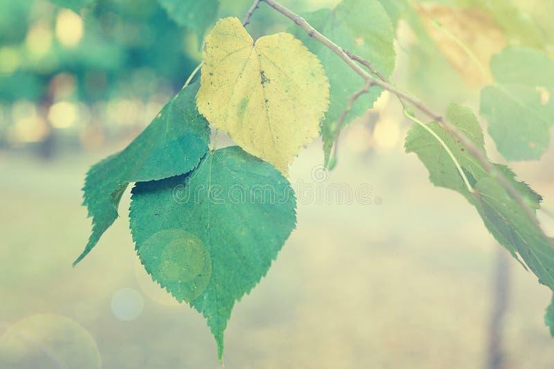 Folhas amarelas e verdes no ramo imagens de stock royalty free