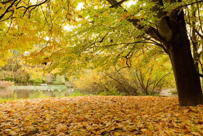 Folhas amarelas no parque na queda fotografia de stock