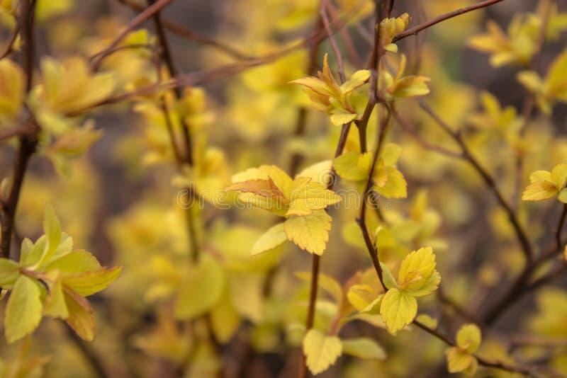 Folhas amarelas pequenas nos ramos fotos de stock