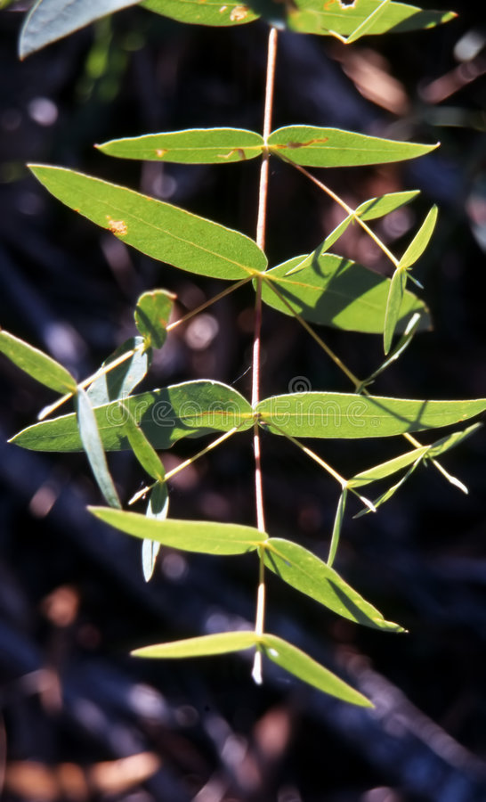 Folhas australianas do eucalipto fotos de stock royalty free