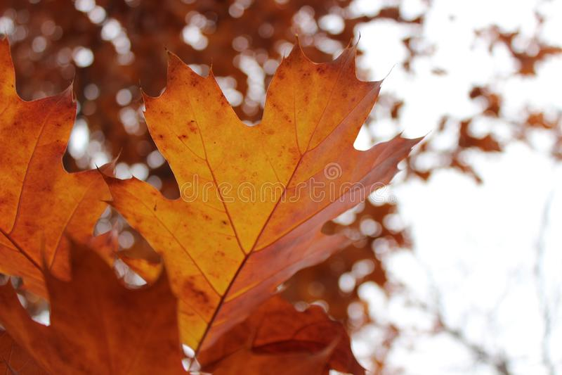 Folhas bonitas brilhantes da laranja na queda imagens de stock