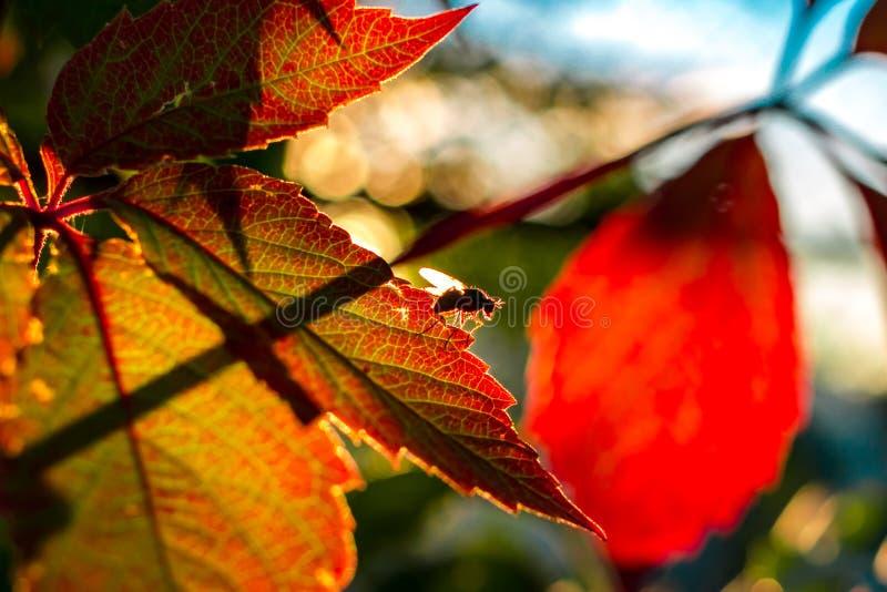Folhas bonitas de uvas novas e de uma mosca fotos de stock